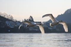 Cisnes sobre el río de Mosela, Luxemburgo Foto de archivo libre de regalías