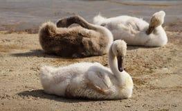 Cisnes tímidos imagenes de archivo