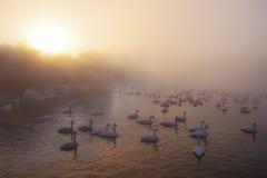 Cisnes temprano por la mañana fotografía de archivo