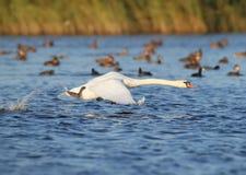 Cisnes uma que correm na água fotografia de stock royalty free