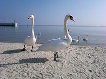 Cisnes y Báltico fotografía de archivo