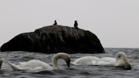Cisnes y cormoranes en el mar del este, Göhren, Alemania almacen de video
