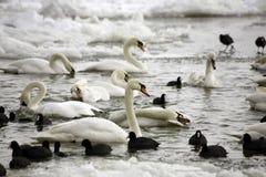 Cisnes y fúlicas en el río congelado Fotografía de archivo
