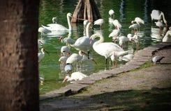Cisnes y garcetas que se bañan junto Imagen de archivo libre de regalías