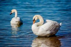 Cisnes y gaviotas en el mar Fotos de archivo libres de regalías
