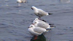 Cisnes y gaviotas en el Mar Negro Canus del Larus, olor del Cygnus almacen de metraje de vídeo