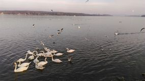 Cisnes y gaviotas en el río Danubio en Zemun Imágenes de archivo libres de regalías