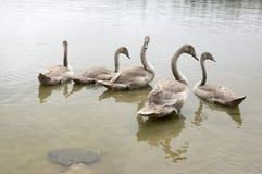 Cisnes y niños adultos en el río, familia del cisne de pájaro feliz Imagen de archivo libre de regalías