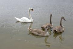 Cisnes y niños adultos en el río, familia del cisne de pájaro feliz Imágenes de archivo libres de regalías