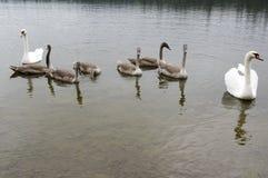 Cisnes y niños adultos en el río, familia del cisne de pájaro feliz Fotos de archivo