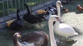 Cisnes y otros pájaros almacen de metraje de vídeo