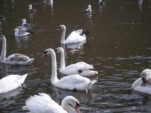 Cisnes y padres jovenes en el lago Fotos de archivo libres de regalías