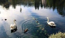 Cisnes y pato Fotografía de archivo