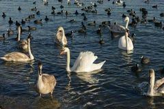 Cisnes y patos Imagen de archivo