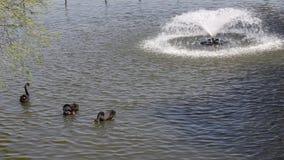 Cisnes y patos almacen de metraje de vídeo