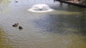 Cisnes y patos metrajes