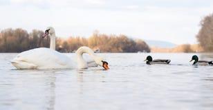 Cisnes y patos Fotografía de archivo libre de regalías