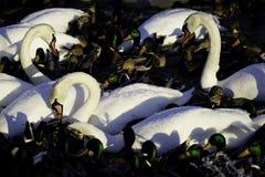 Cisnes y patos blancos del pato silvestre Imagen de archivo libre de regalías