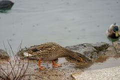 Cisnes y patos en el lago Imágenes de archivo libres de regalías