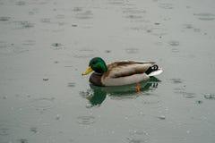 Cisnes y patos en el lago Fotografía de archivo libre de regalías