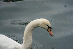 Cisnes y patos en el lago Fotografía de archivo
