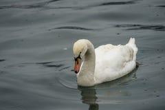 Cisnes y patos en el lago Fotos de archivo libres de regalías