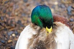 Cisnes y patos en el lago Fotos de archivo