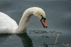 Cisnes y patos en el lago Foto de archivo