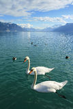 Cisnes y patos en el lago Lemán Imagen de archivo libre de regalías