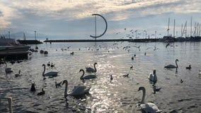 Cisnes y patos en el lago Leman almacen de video