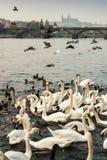 Cisnes y patos en el río de Moldava Fotos de archivo libres de regalías
