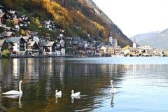 Cisnes y patos que flotan en el lago Hallstatt Imagenes de archivo