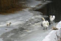 Cisnes y perros fotografía de archivo libre de regalías