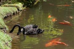 Cisnes y pez de colores Imágenes de archivo libres de regalías