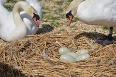 Cisnes y pollos del cisne adultos, Swannery en Abbotsbury Imágenes de archivo libres de regalías