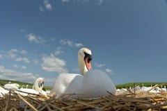 Cisnes y pollos del cisne adultos, Swannery en Abbotsbury Fotografía de archivo