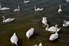 Cisnes y pollos del cisne adultos, Swannery en Abbotsbury Imagen de archivo