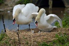 Cisnes y pollos del cisne adultos, Swannery en Abbotsbury Fotografía de archivo libre de regalías