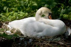 Cisnes y pollos del cisne adultos, Swannery en Abbotsbury Fotos de archivo libres de regalías