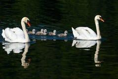 Cisnes y polluelos Fotos de archivo libres de regalías