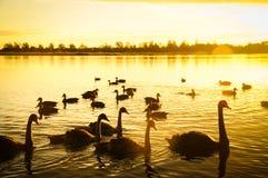 Cisnes y puesta del sol sobre el lago Fotos de archivo