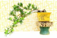Cisowa podocarp bonsai roślina zdjęcia stock