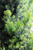Cisowy drzewo E zdjęcia stock