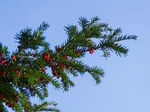 Cisowy drzewo z czerwonymi jagodami Obrazy Royalty Free