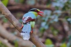 Cissa för gemensam grön skata chinensis fåglar av Thailand Arkivbild