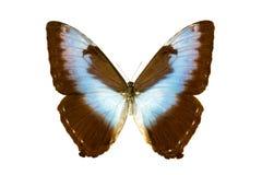 cisseis motyli morpho Obraz Royalty Free
