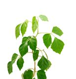 Cissus diamond-shaped( lat.Cissus rhombifolia) Royalty Free Stock Photos