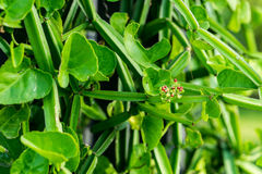 Cissus quadrangularis L. (The plant is a herb used for the treatment of hemorrhoids Stock Images