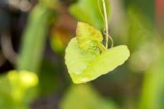 Cissus quadrangularis L., tree. Royalty Free Stock Photo