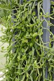 Cissus quadrangularis plants Stock Photography